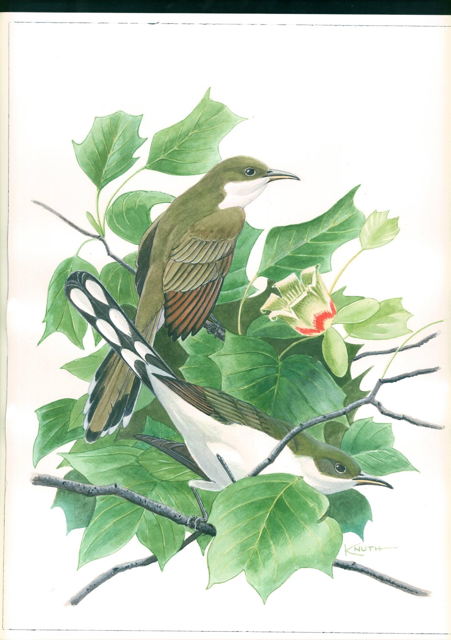 yellow-billed cuckoo painting