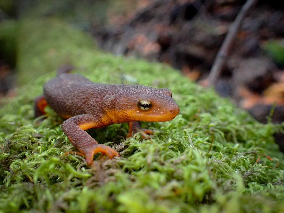 "Photo shared by Stacy Chamness, who wrote: ""South Park Drive in Tilden Park (Berkeley, California) is closed from October to March for California newt migration."""