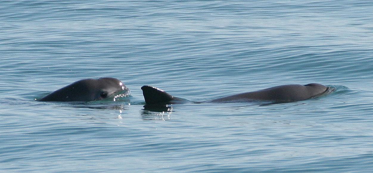 Vaquitas (photo courtesy of NOAA)