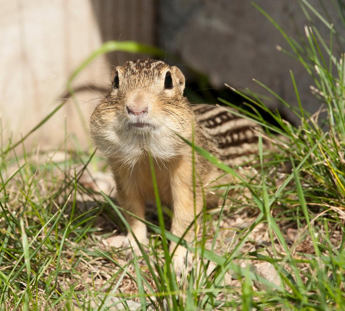 13-striped ground squirrel