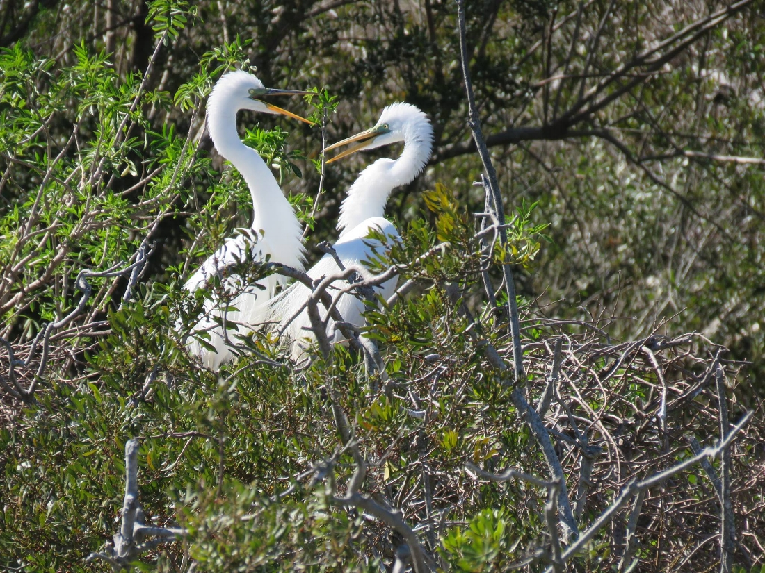 Great Egrets (right after mating)