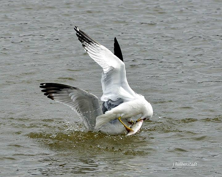 Gulls Fighting Over a Fish