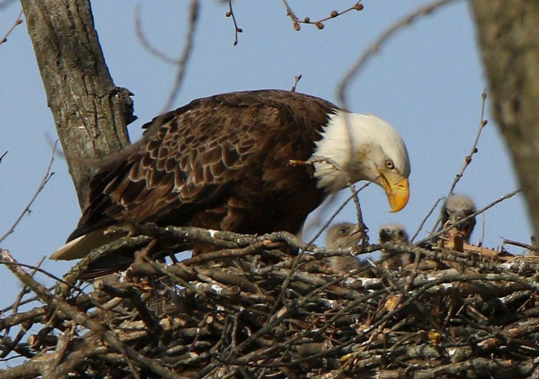 Bald Eagle and Chicks
