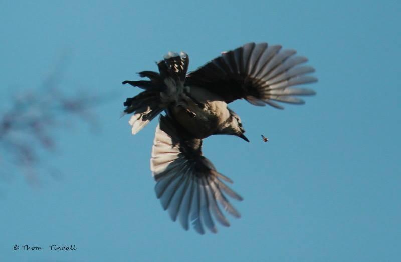 Blue Jay with Broken Beak
