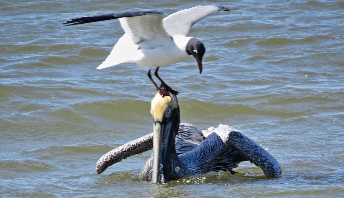 Laughing Gull and Pelican