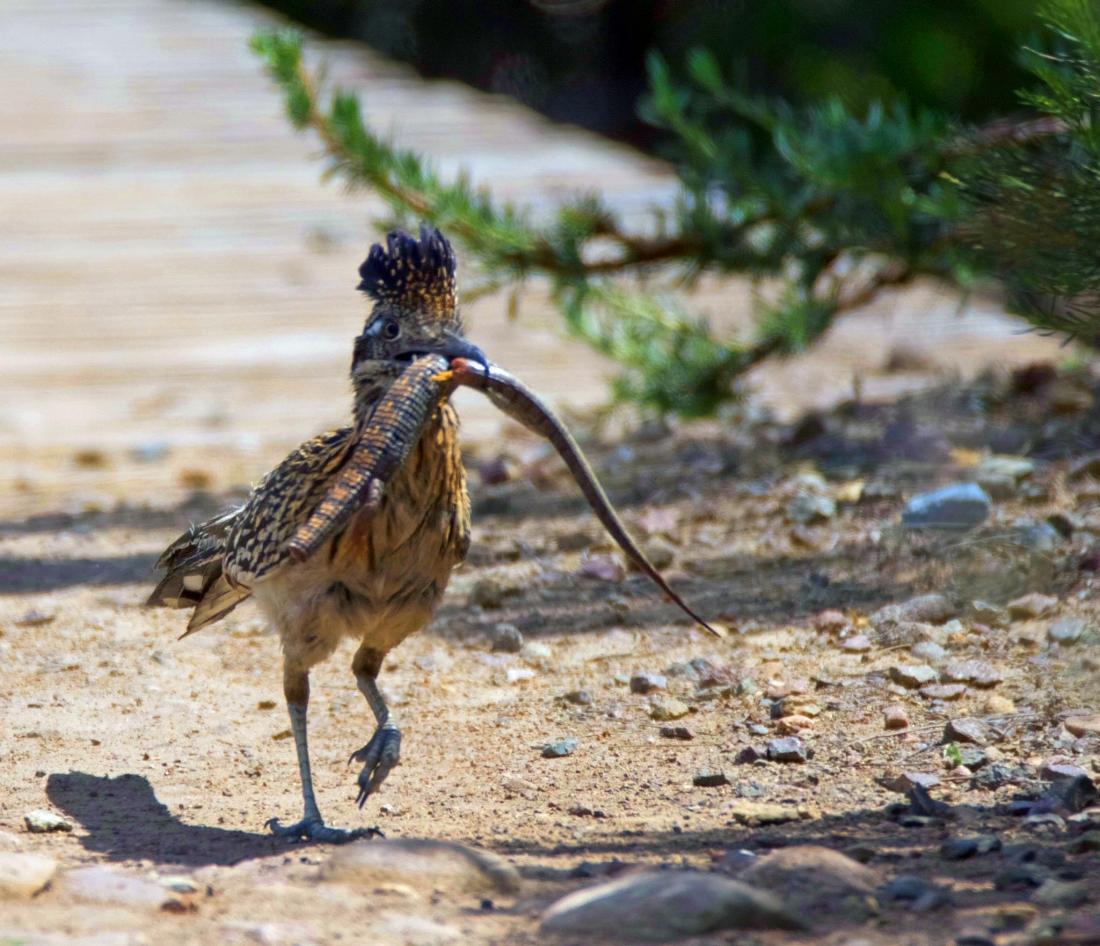 Roadrunner with Lizard