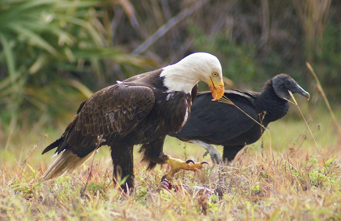Bald Eagle, Black Vulture, Armadillo