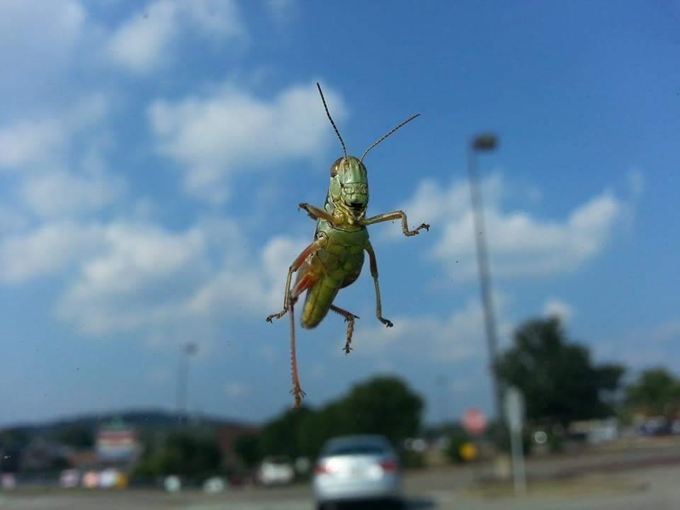 Grasshopper on Windshield