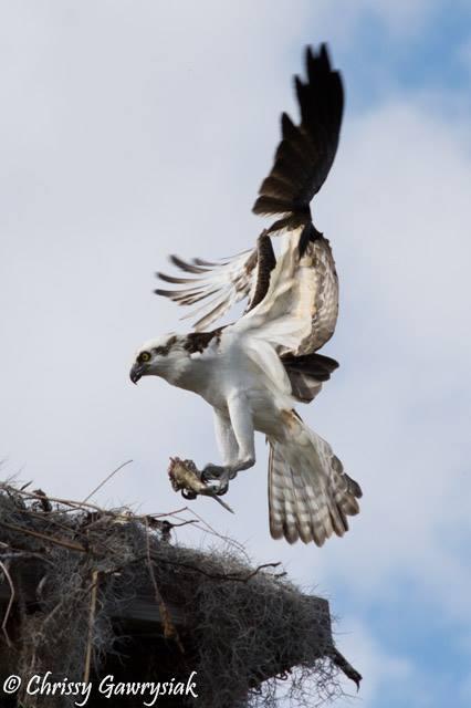 Osprey at Nest