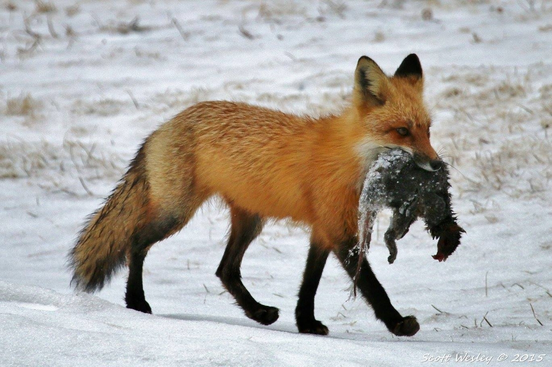 Red Fox with Squirrel