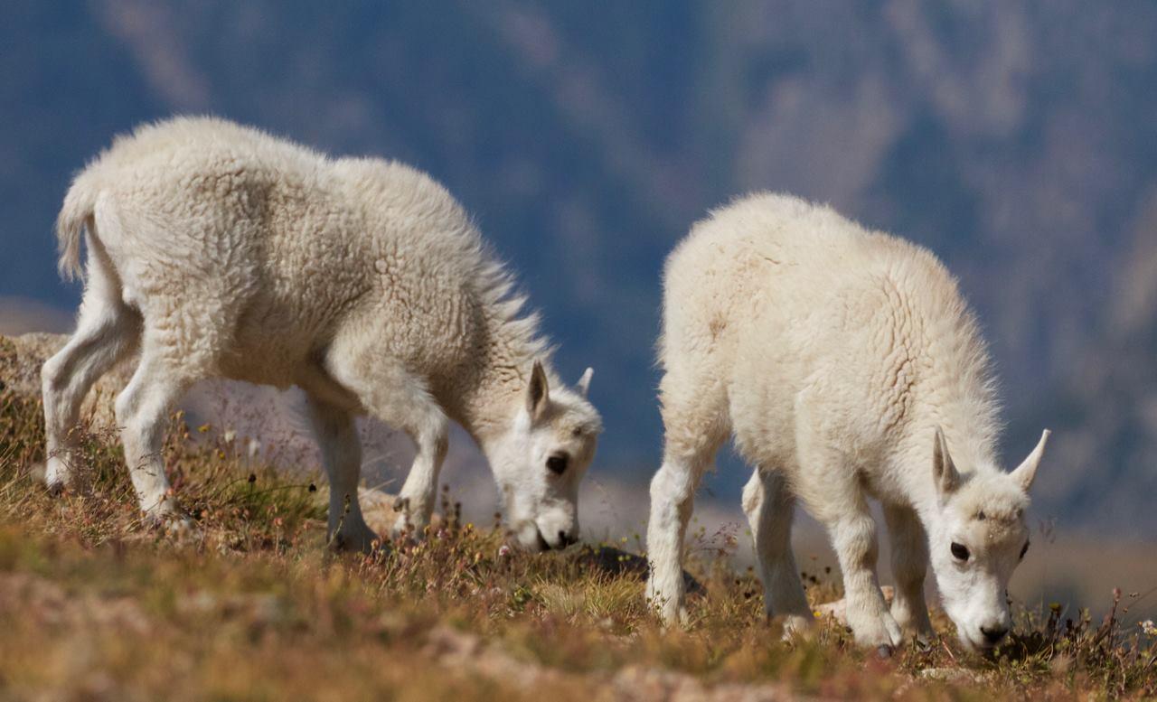 Mountain goats, Beartooth Plateau, Wyoming