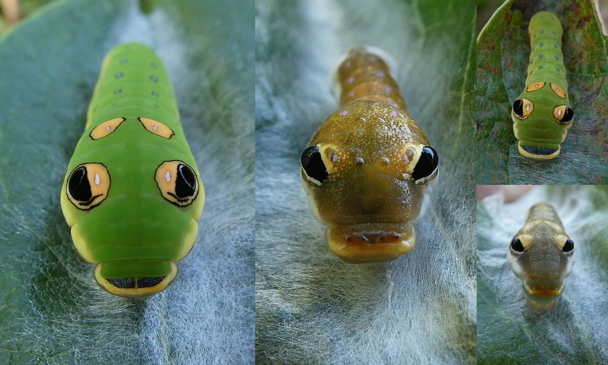 Spicebush swallowtail caterpillar photos shared with The Naturalist's Notebook by David Moskowitz