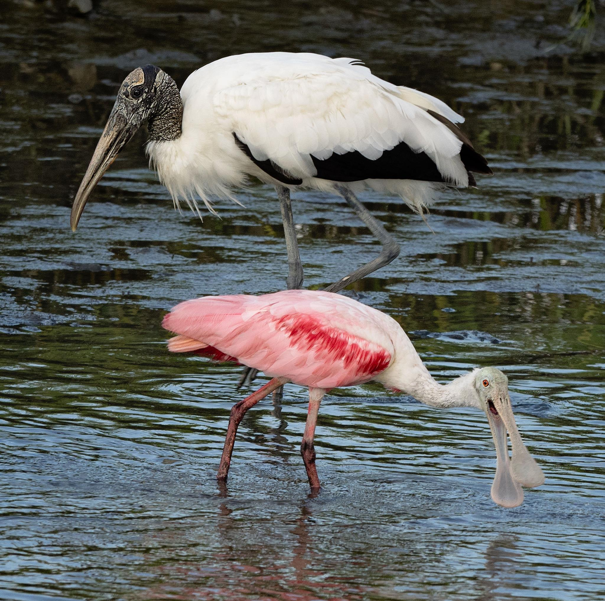 Roseate Spoonbill and Wood Stork