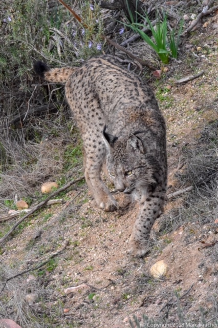Photo of Iberian lynx by Marc Faucher in the Sierra Andujar Mountains of Southwest Spain