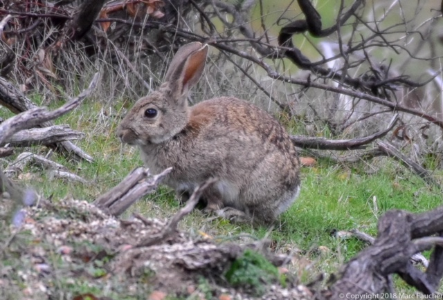 Photo of European rabbit by Marc Faucher in the Sierra Andujar Mountains of Southwest Spain
