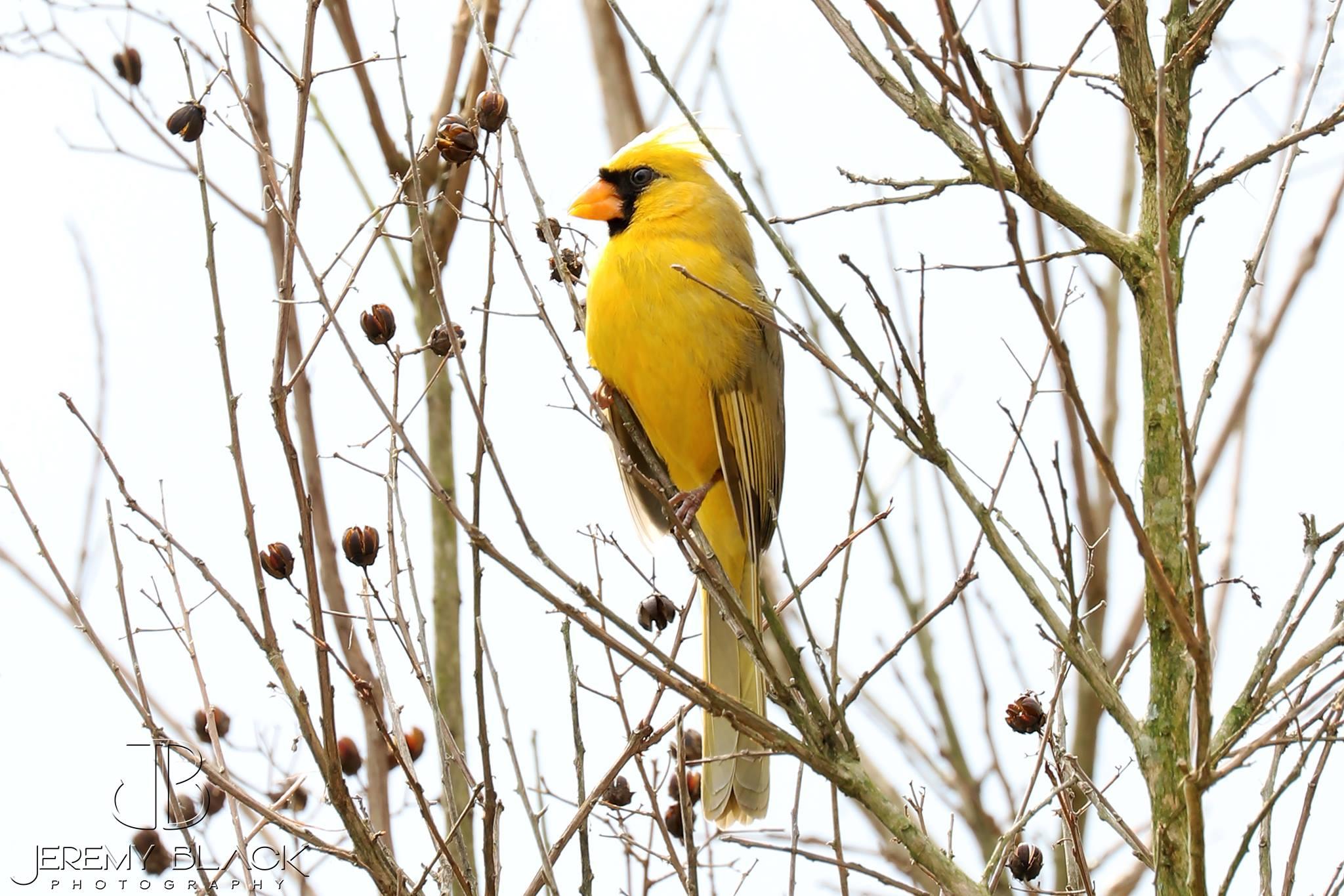 Yellow Northern Cardinal The Naturalist's Notebook