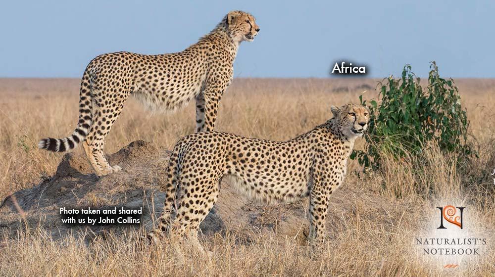 TravelAfricaCheetah.jpg