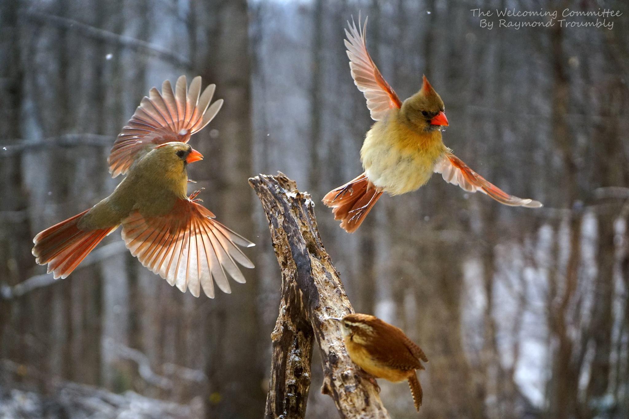 Cardinals and Carolina Wren