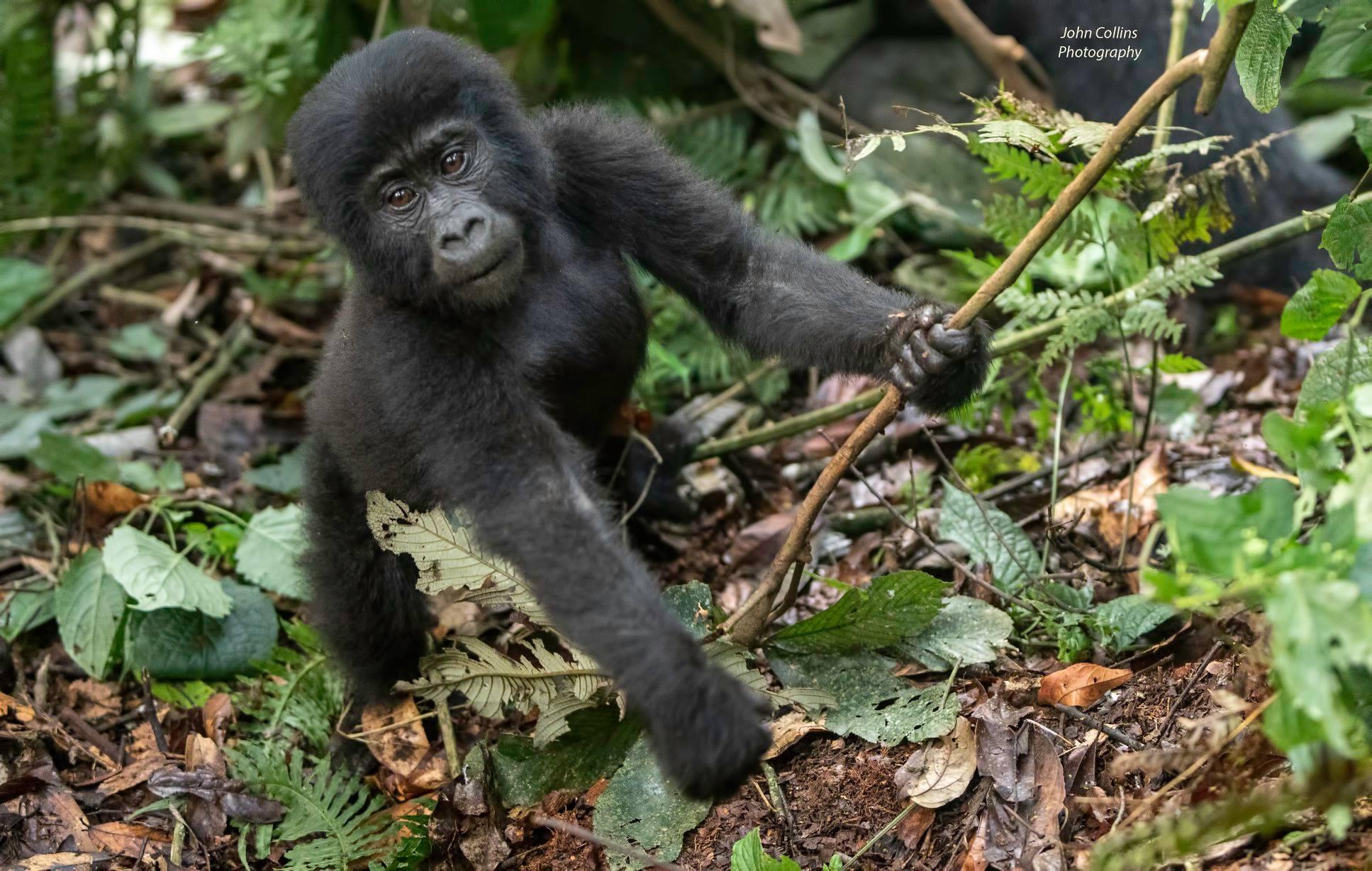 Mountain Gorilla (baby)