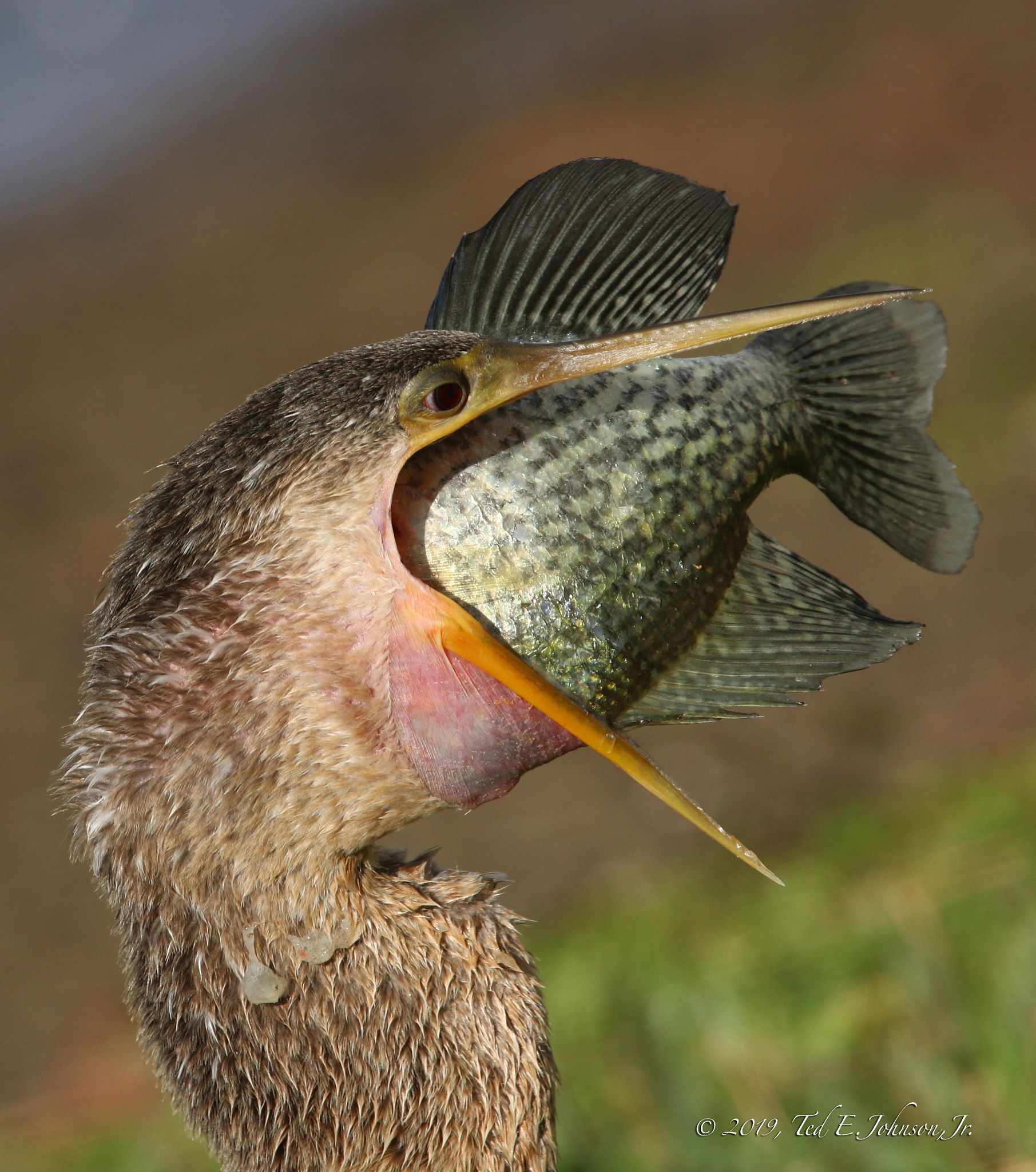 Anhinga (with speckled perch)