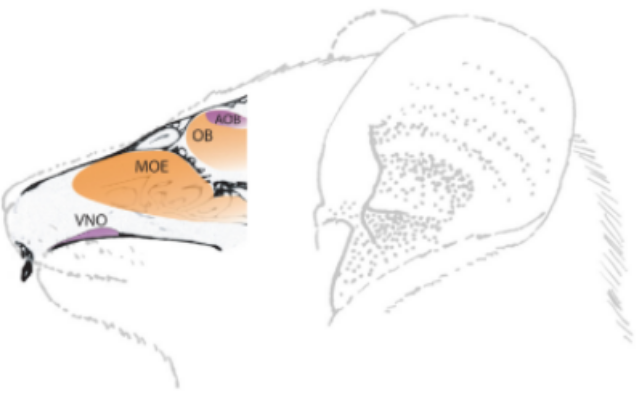 Schematic diagram of the olfactory systems of a mouse lemur. The main olfactory system is denoted by orange, and the vomeronasal system is denoted by purple. The main olfactory epithelium (MOE) is the peripheral sensory organ of the main olfactory system, while the vomeronasal organ (VNO) is the peripheral sensory organ of the vomeronasal system. The olfactory bulb (OB) is the primary brain center where main olfactory information is processed, while the accessory olfactory bulb (AOB) is the primary brain center where vomeronasal olfactory information is processed.
