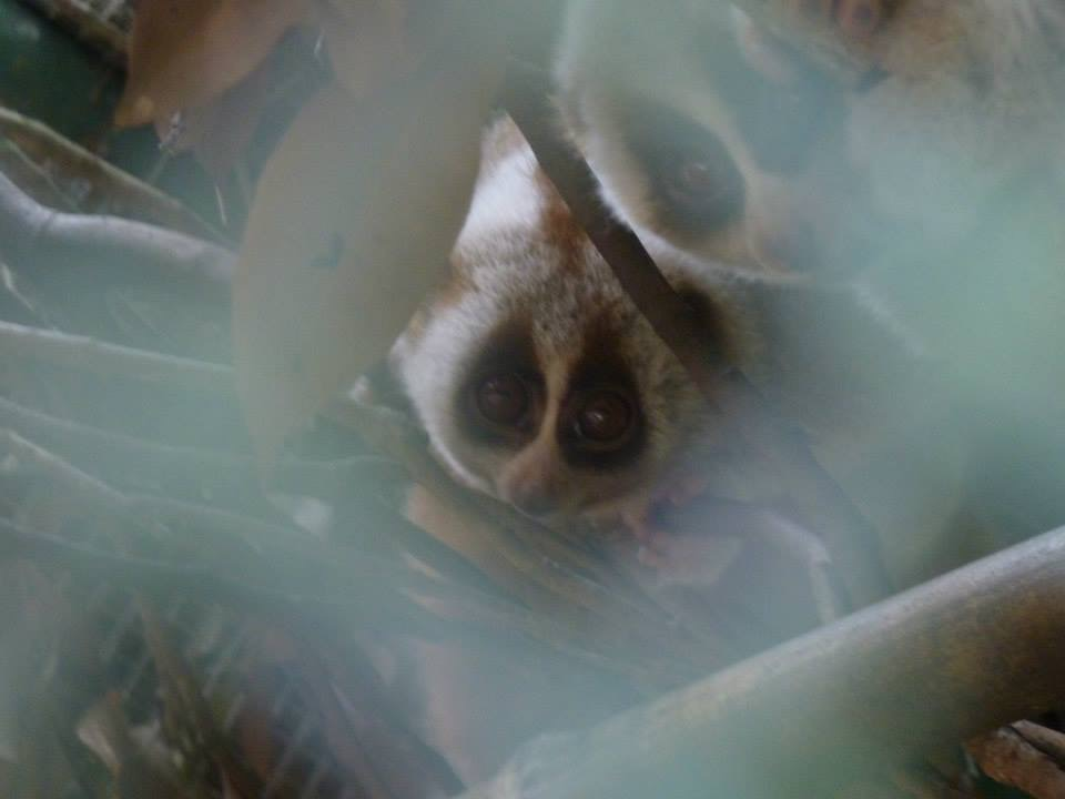 Slow lorises at the Cuc Phuong Endangered Primate Rescue Center, Vietnam.