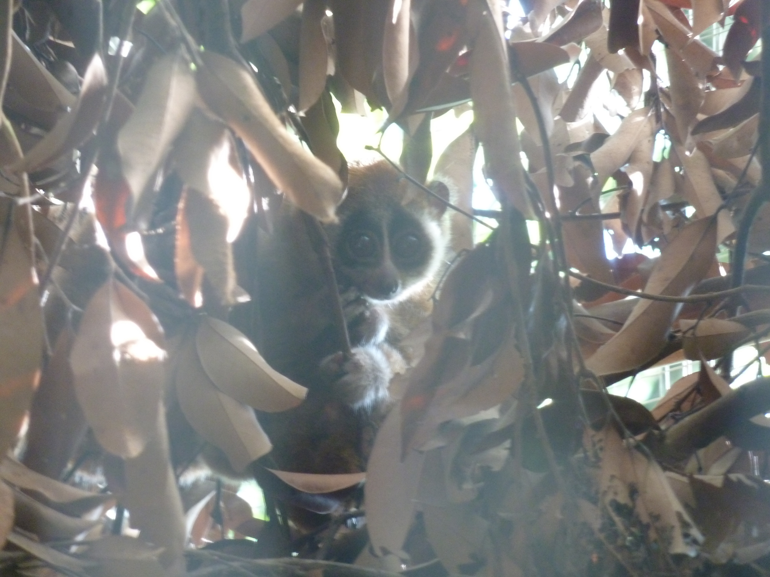Slow loris at the Cuc Phuong Endangered Primate Rescue Center, Vietnam.