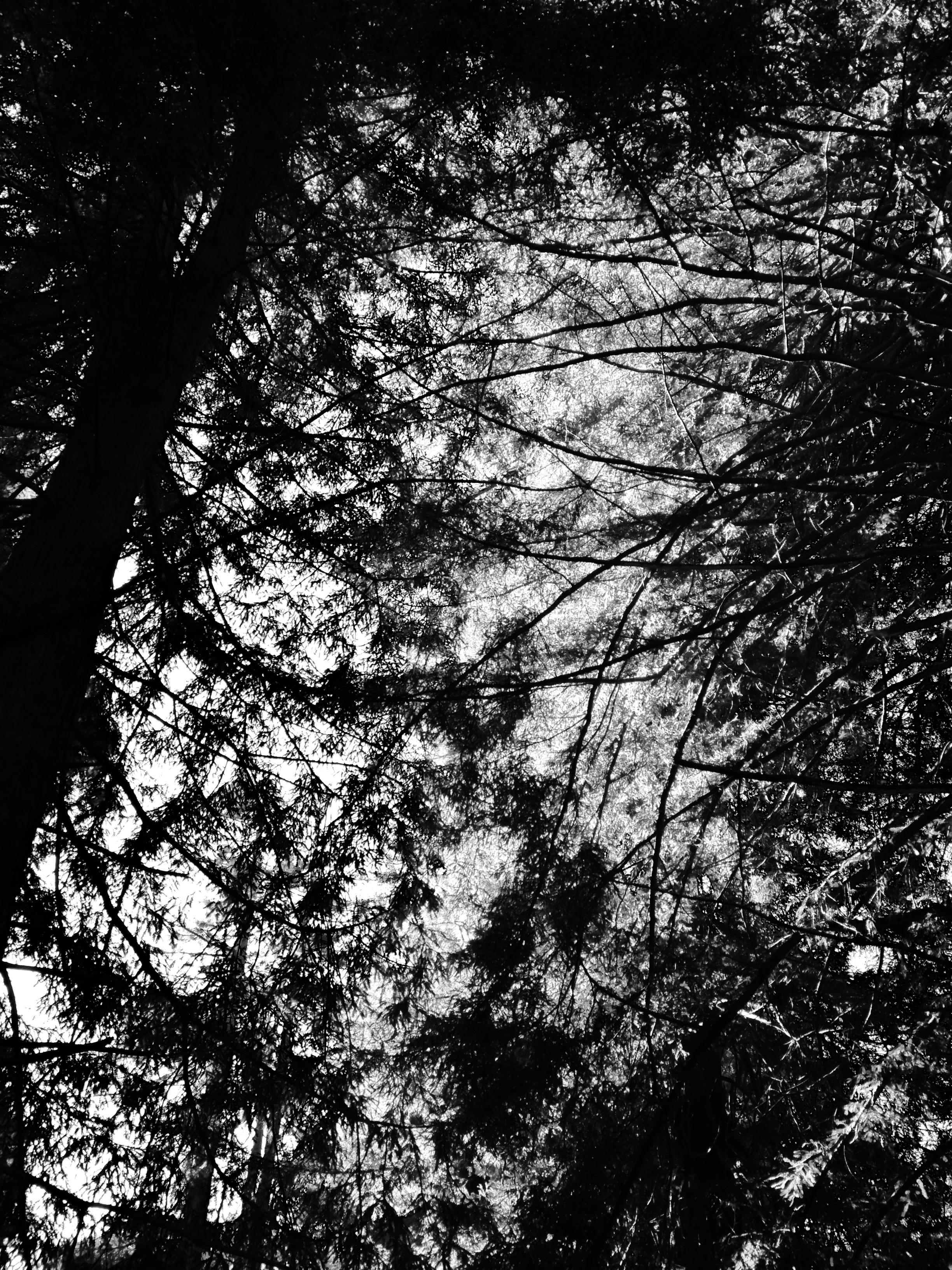 Redwood canopy San Francisco Botanical Garden, January 15, 2017.