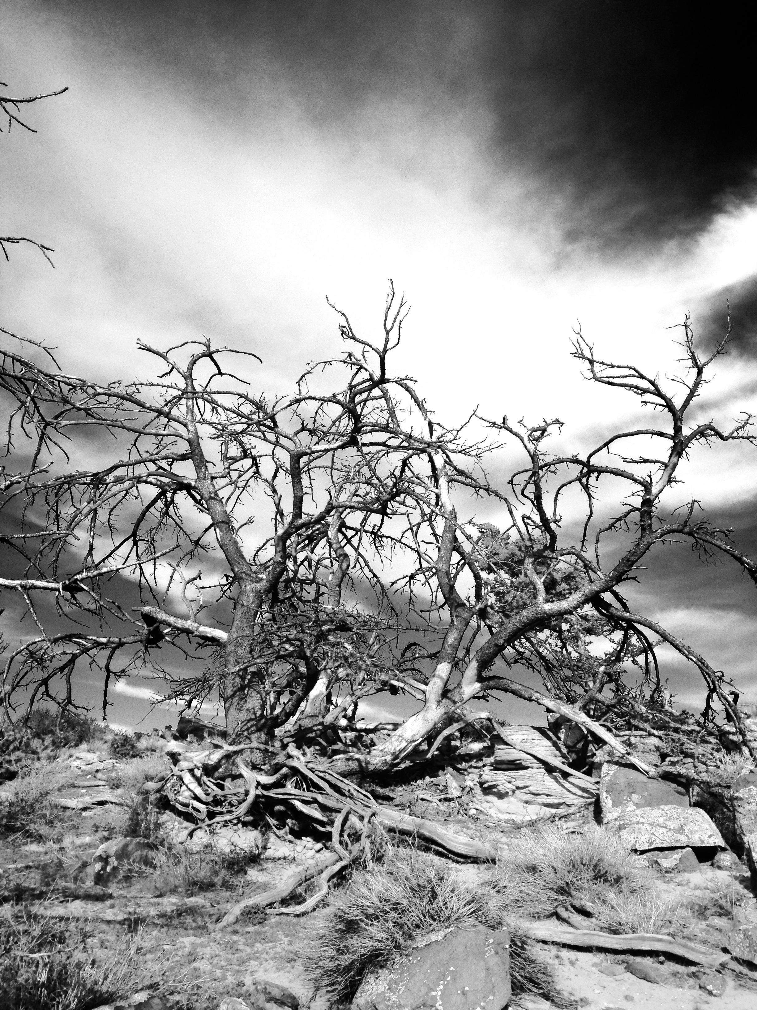 Tree struck by lightening, near China Wall, Wapiti, Wyoming, April, 16, 2017.