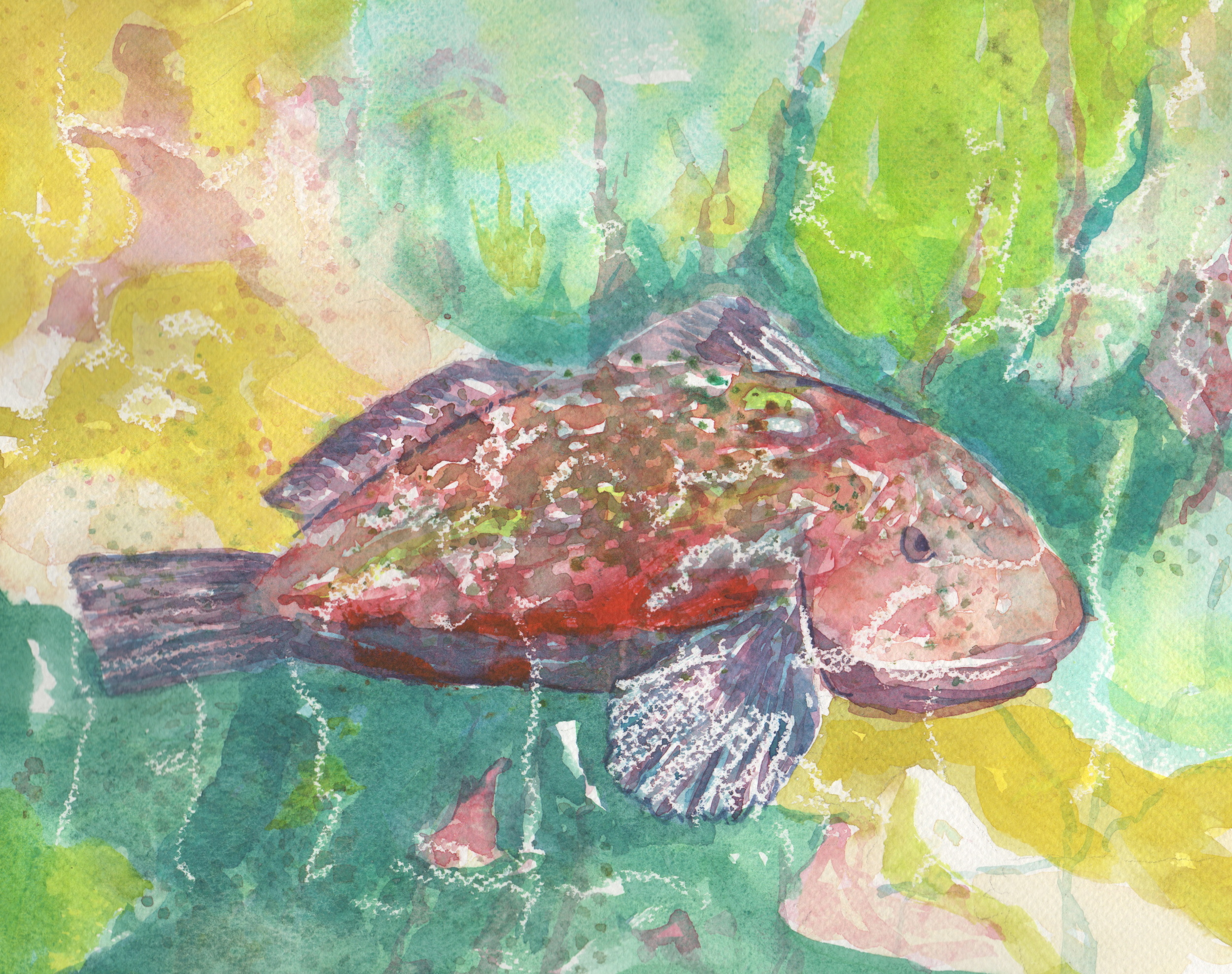 Rock Cod in Tropical Colors