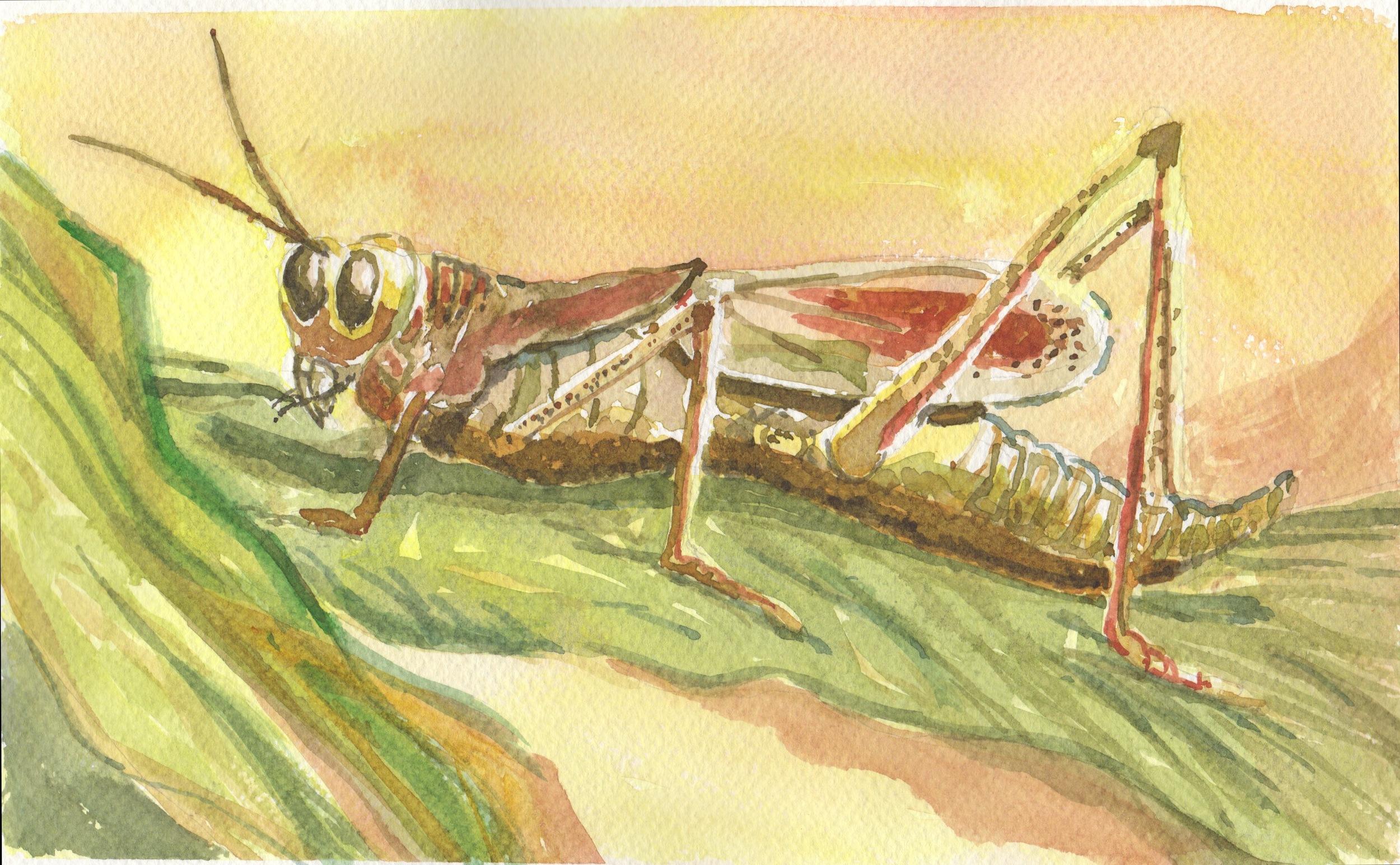 Summer Grasshopper