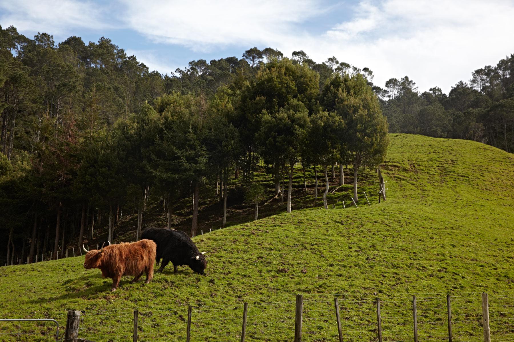 New_Zealand_North_Island_Highland_Cattle.jpg