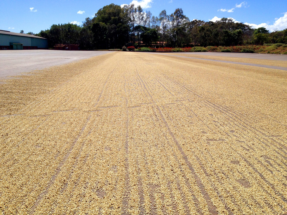 Green coffee beans being sundried.