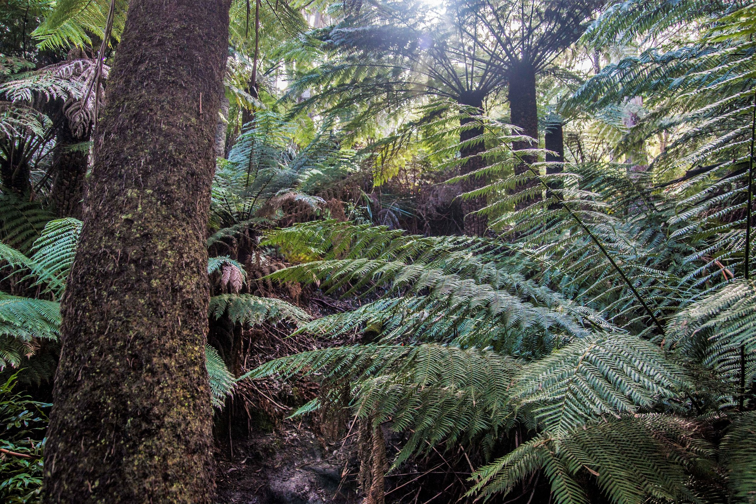 Sun peeking through Dicksonia and Cyathea tree ferns in a lush rainforest gully in Strzelecki National Park on Flinders Island, Tasmania
