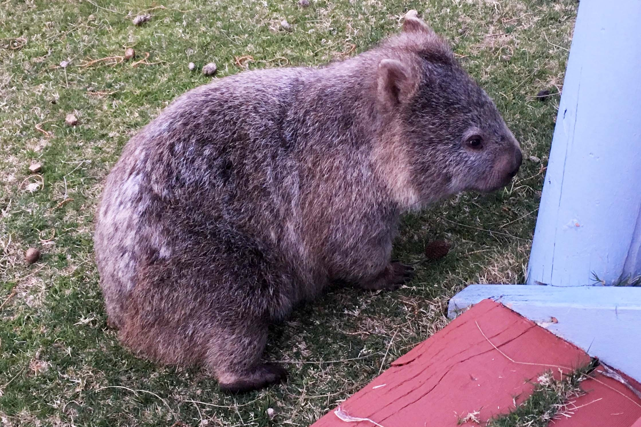 Wombat and…