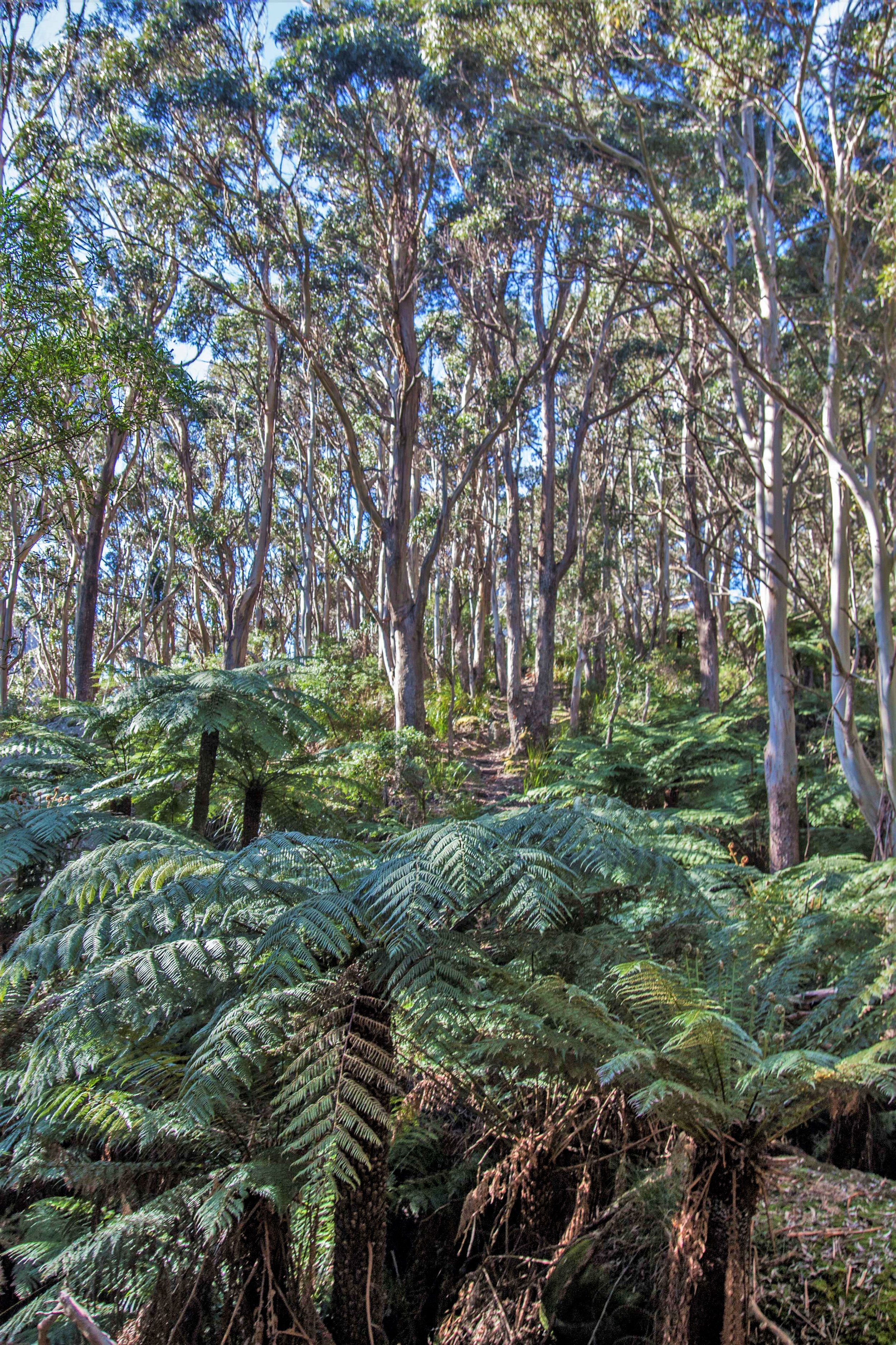Rainforest gully surrounded by  Eucalyptus  forest.