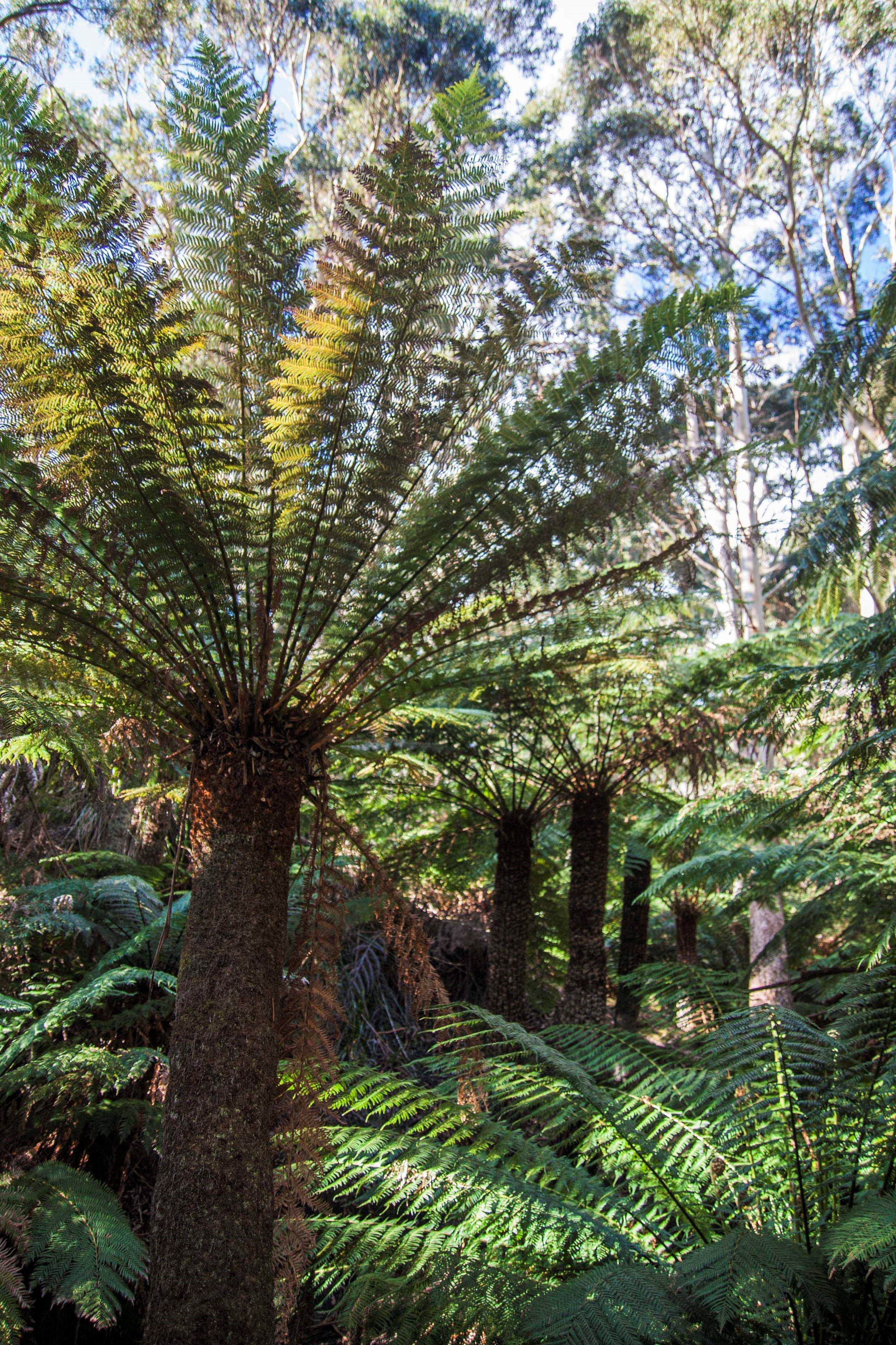Dicksonia and Cyathea tree ferns in a cool rainforest gully in Strzelecki National Park, Flinders Island, Tasmania, Australia