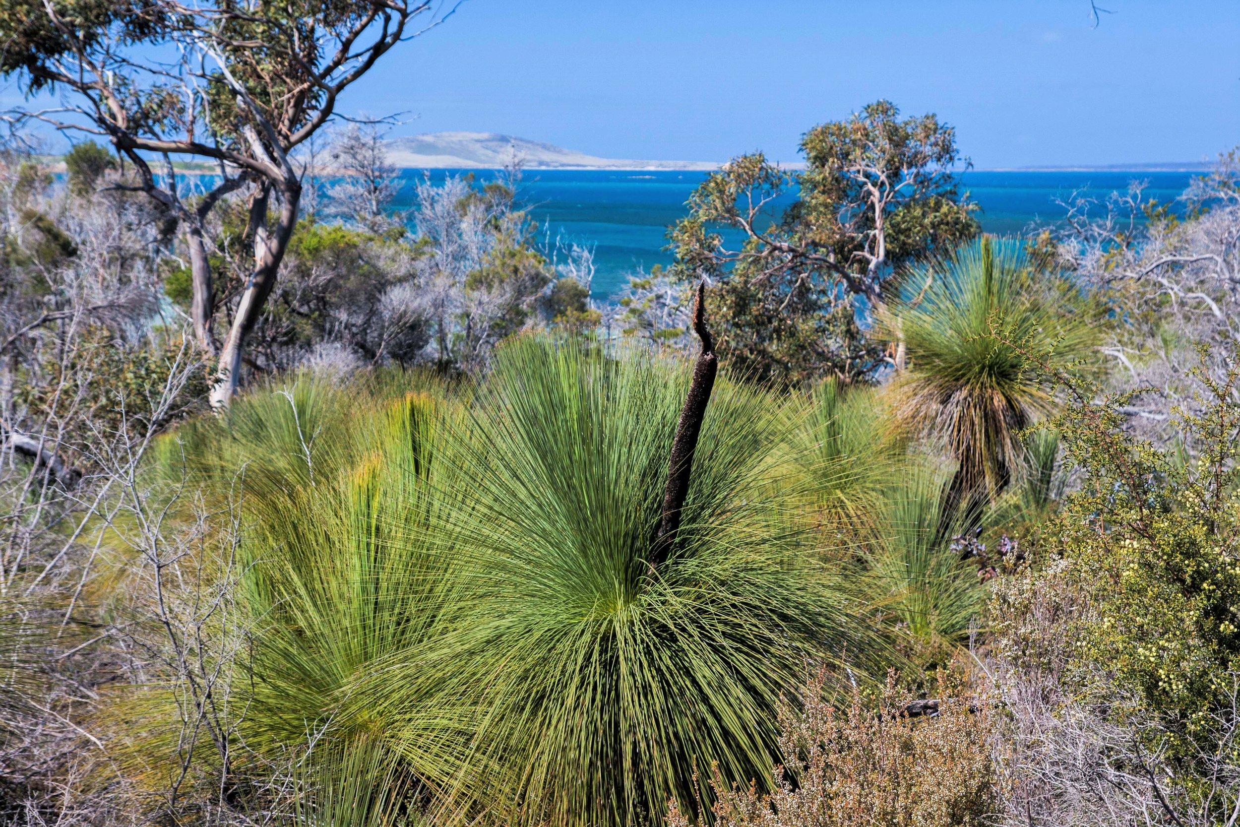 Grass trees with coastal forest and view of the ocean in Strzelecki National Park on Flinders Island, Tasmania, Australia