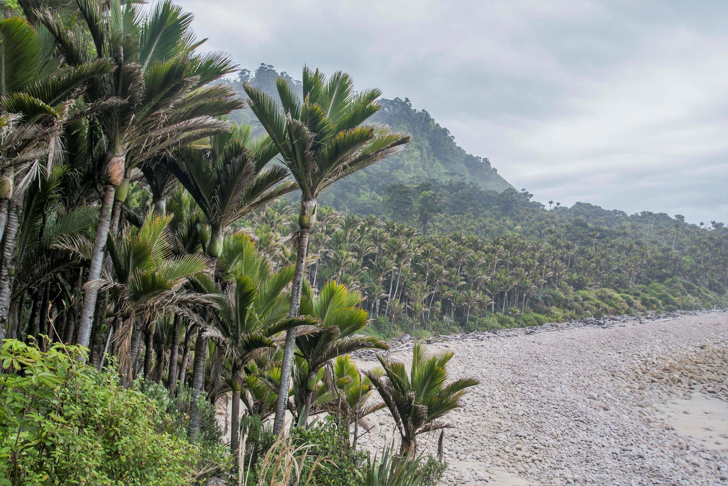 Nikau palms along the coast, a few hours into the trek.