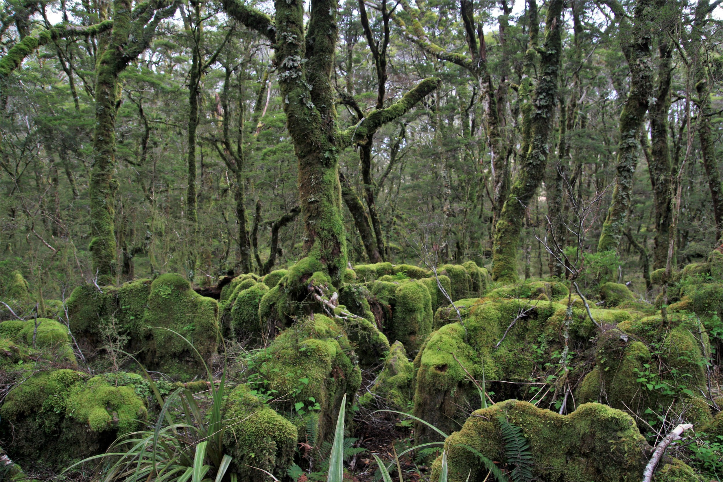 The Enchanted Forest—mossy, gnarled beech forest in a karst (limestone) area within the Downs.