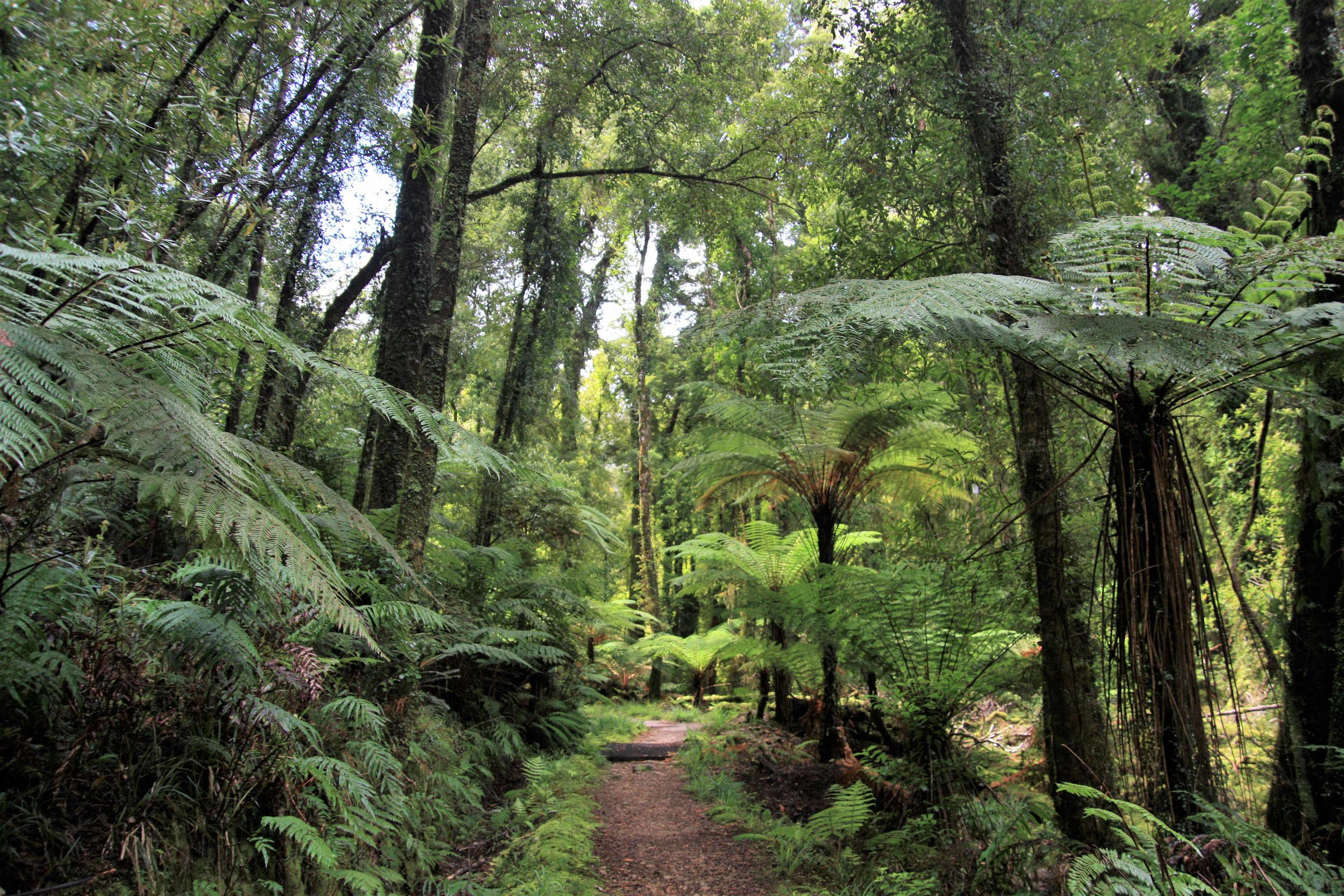 Rainforest along the Heaphy Track, New Zealand