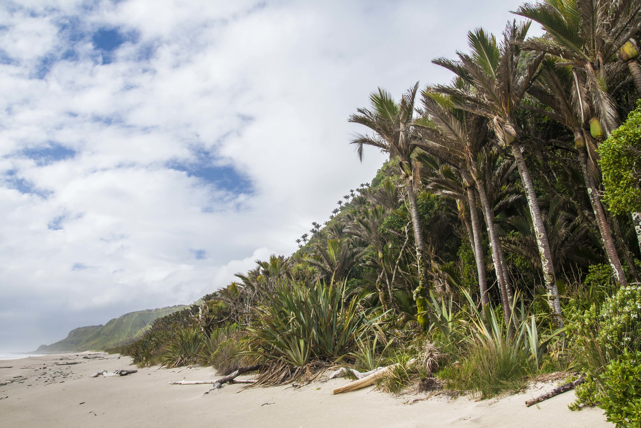 1.  A dramatic beginning— Nikau  palms along the beach.