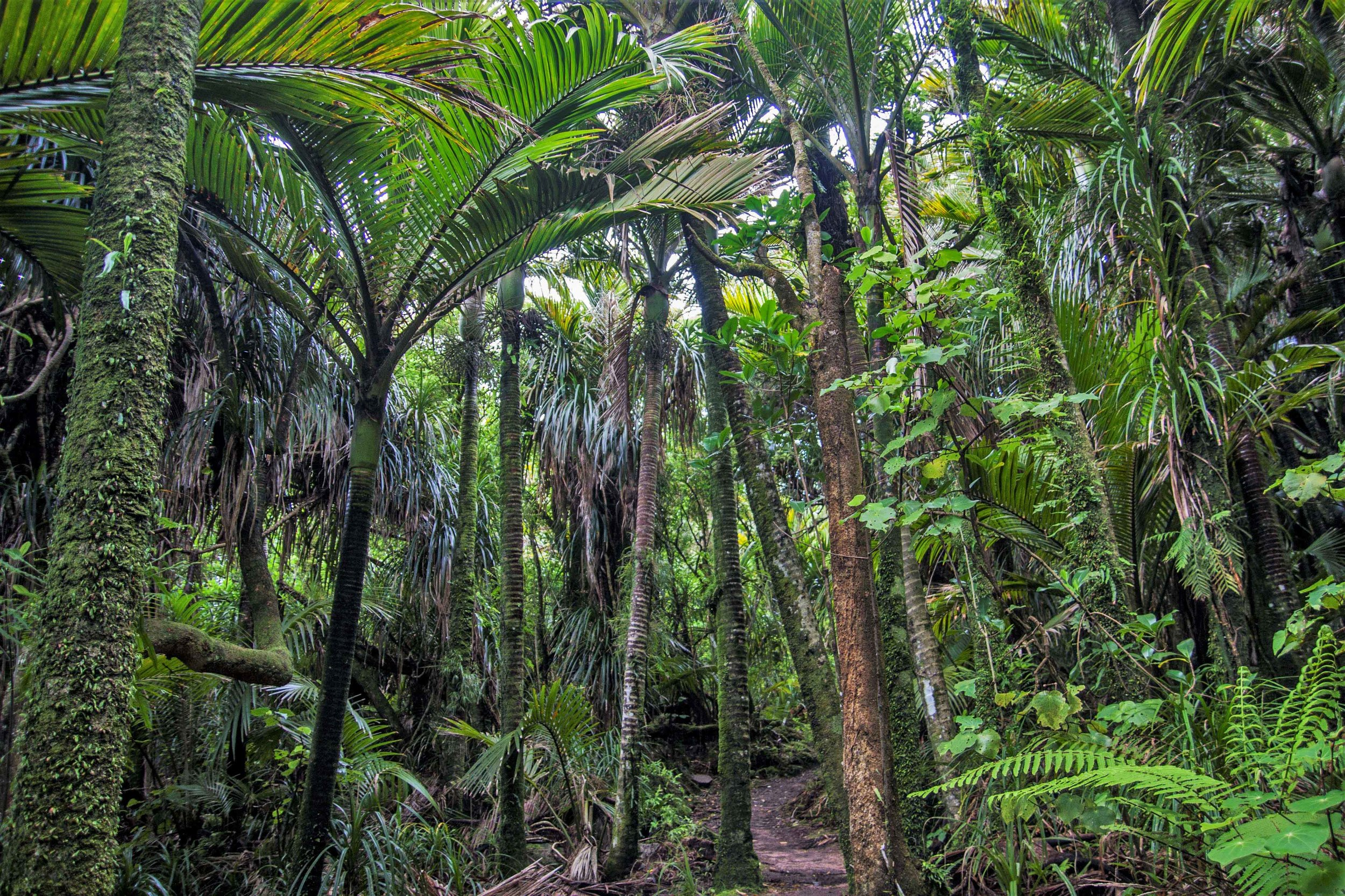 3.  Rainforest behind the beach, with  nikau  palms.