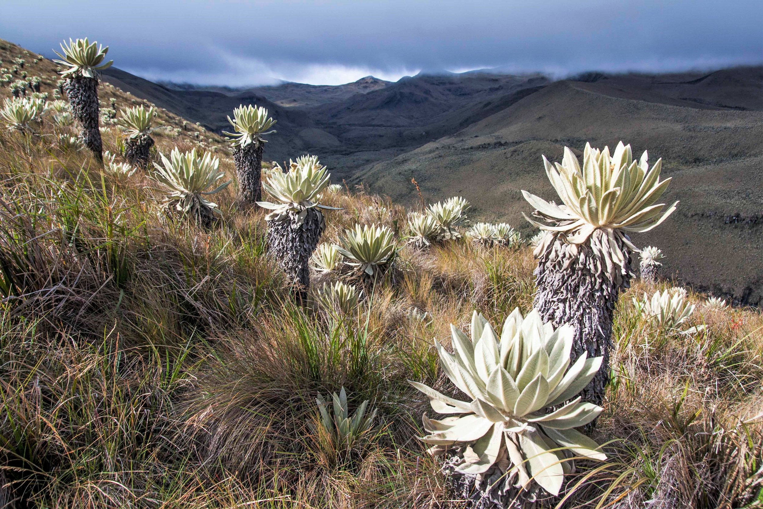 Cloud forest in a stream valley, paramo and frailejones in El Angel Ecological Reserve, Ecuador