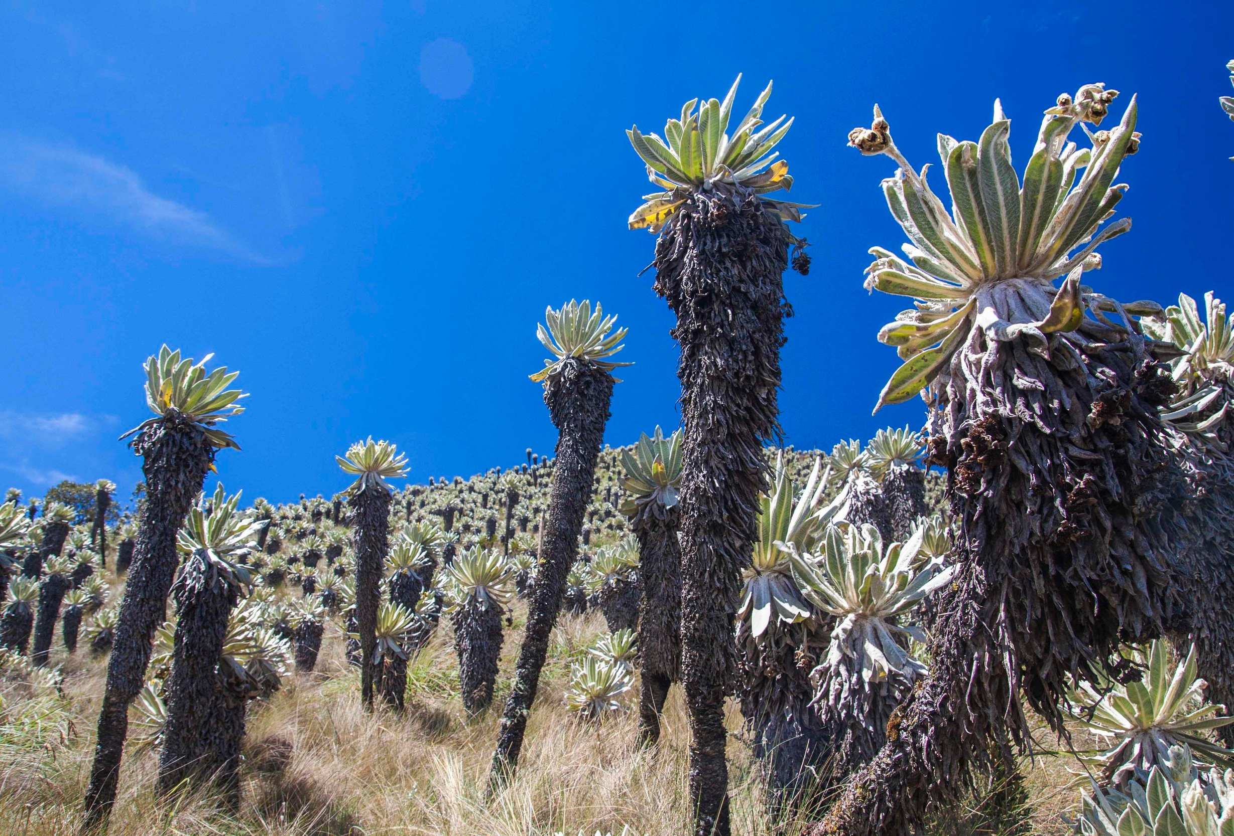 Frailejones+and+paramo+with+blue+sky+in+El+Angel+Ecological+Preserve%2C+Ecuador