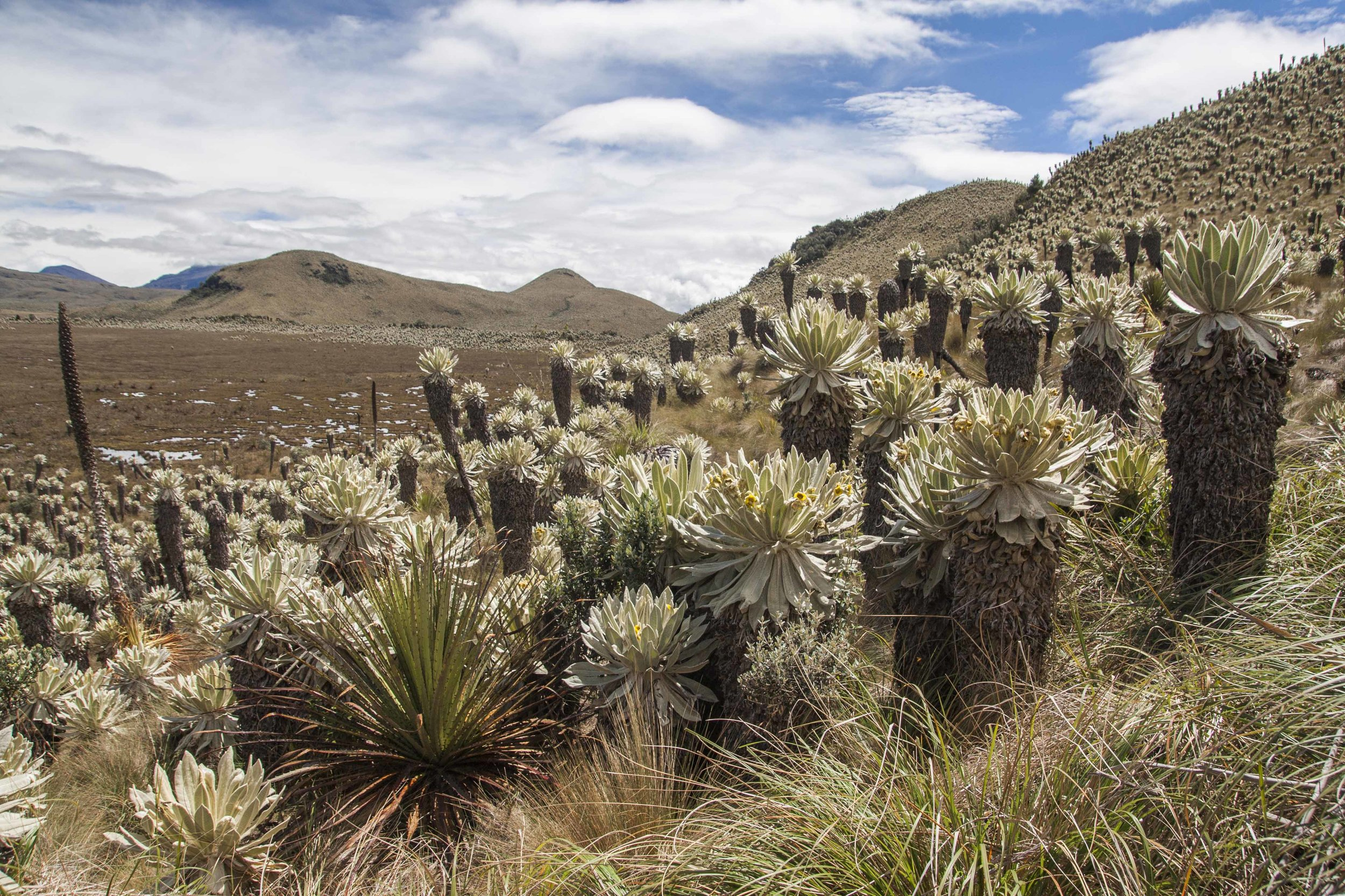Frailejones at Voldero Lagoon in the Paramo of El Angel Ecological Reserve, Ecuador