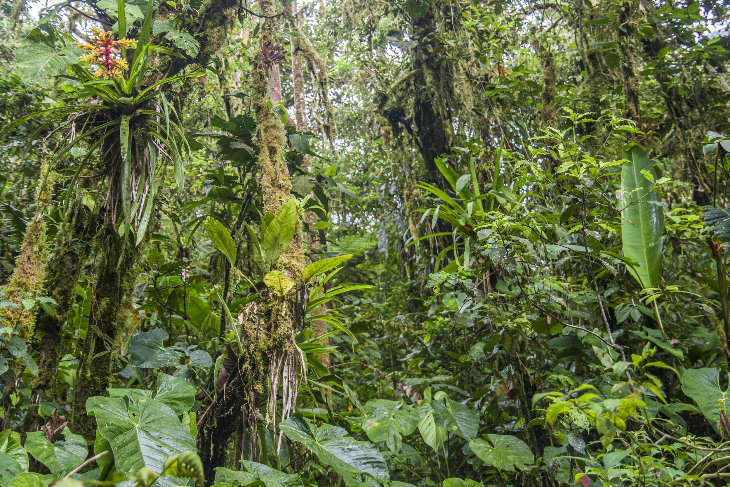 "Primary (never cut) cloud forest at Los Cedros, northwest Ecuador. It's pretty close to ""pristine,"" but given the forest's reliance on mist and rain, climate change will surely change that. Psychologically, when and how will that start to matter?"