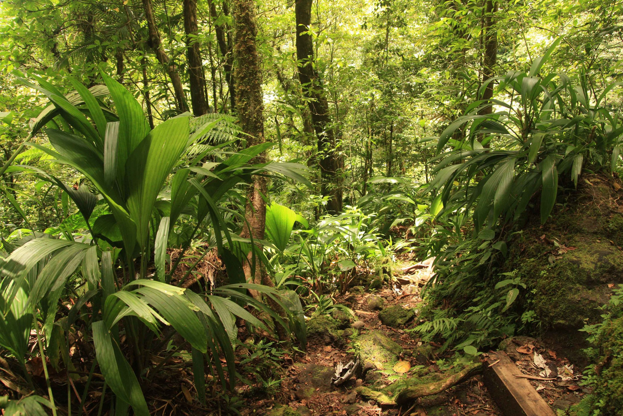 "Rainforest on the island of Dominica—secondary (previously cut), but most wouldn't know it without first visiting a primary forest. In fact the secondary forest, with a lusher understory, looks more quintessentially ""jungle-like."""