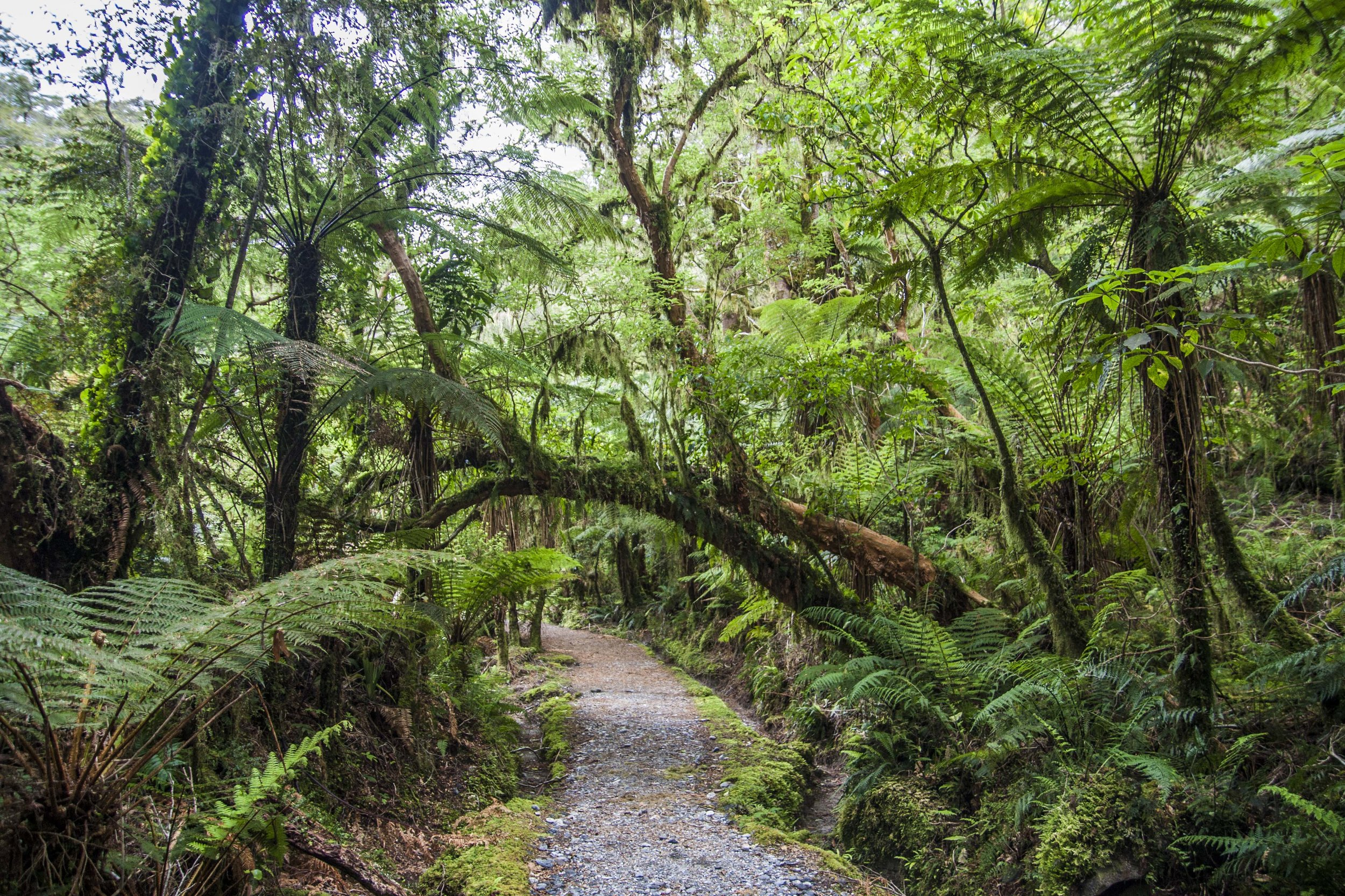 Temperate rainforest along the Milford Track in New Zealand. Introduced mammals have had significant ecological effects here and throughout the country, but the untrained eye wouldn't know it. How meaningful is that knowledge to the experience of the landscape?