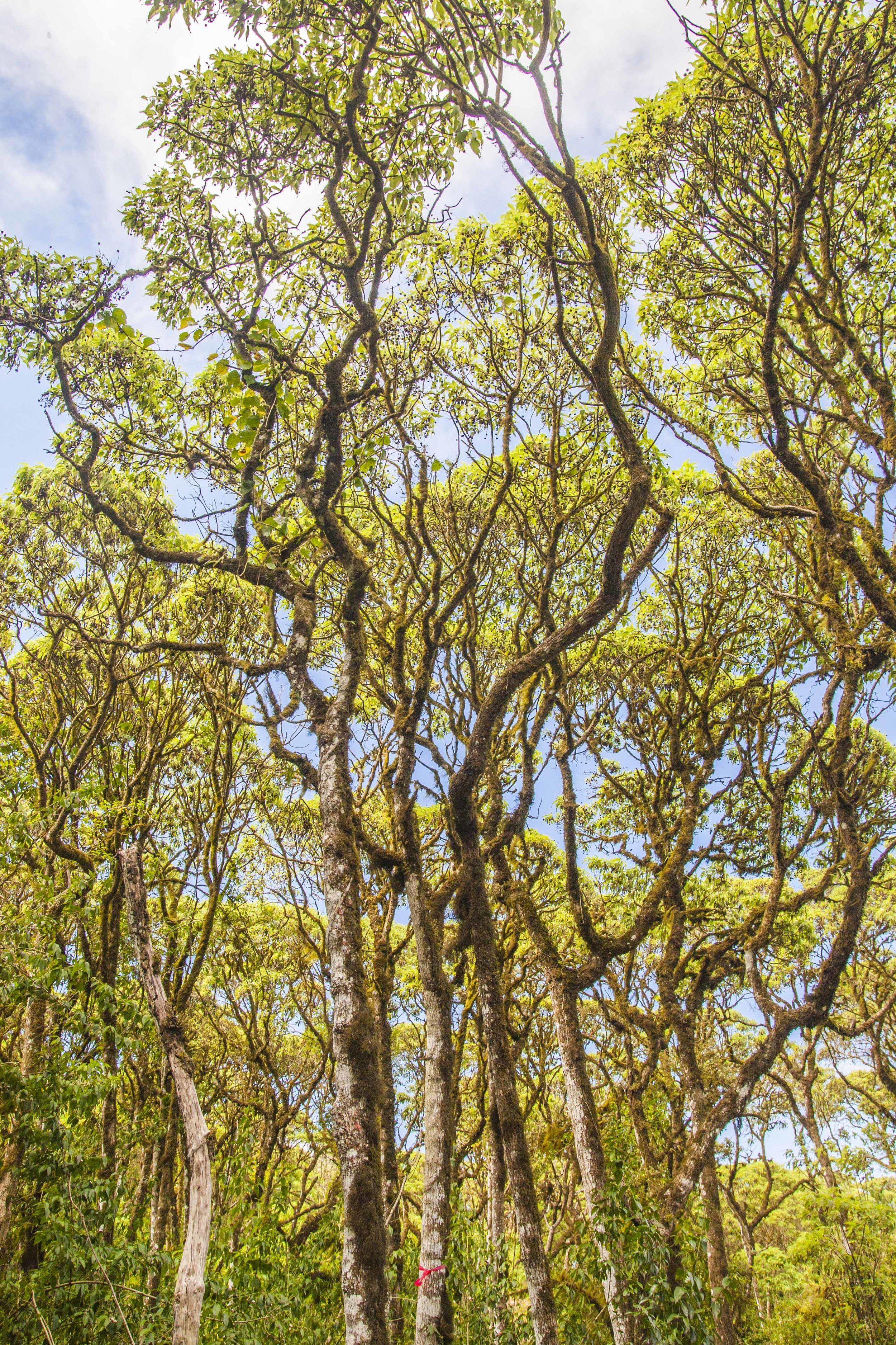 "Cloud forest of  Scalesia pedunculata  in the highlands of Santa Cruz Island, Galápagos. Only miniscule bits of this habitat remain. If any place on earth deserves to be preserved as a ""living museum,"" the Galápagos would be it."